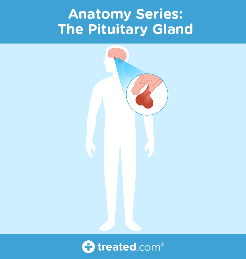 Anatomy Series Pituitary Gland